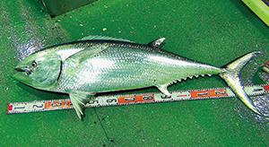 洋上で釣り上げられたばかりのガストロ(写真提供・浜田漁業部)