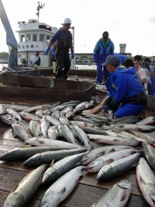 4年魚の回帰が予測の半分以下。30年で最低水準となりそうな秋サケ水揚げ