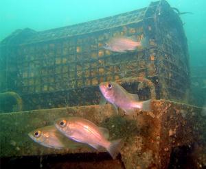 メバルなどが集まる小型漁礁