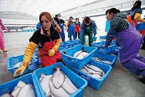 試験操業漁獲物の仕分けは浜の女性たちの役割。現状は量が少ない