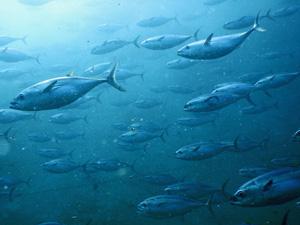 イケス内を泳ぐ養殖マグロ