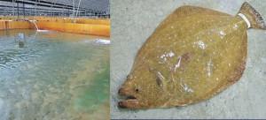 HACCPを取得しヒラメを生産する日出峰の養魚場とサボテンヒラメ(右)