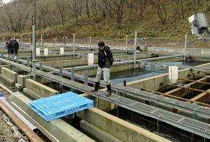 大峰川流域に造成されたトラウトの中間養魚場