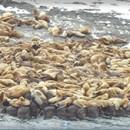 宗谷岬沖・弁天島のトドの大群