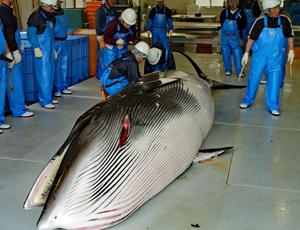 解体所で計測されるミンククジラ