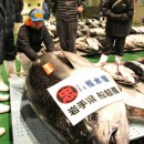仙台市場に上場された過去最重量330キロの本マグロ
